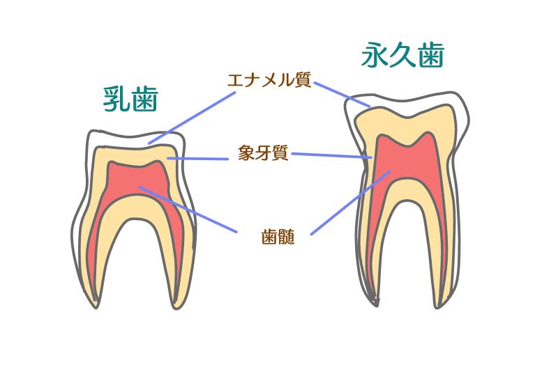 永久歯と乳歯の画像.png