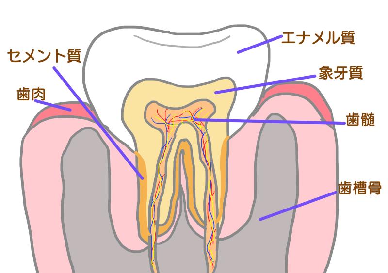歯の構造.png